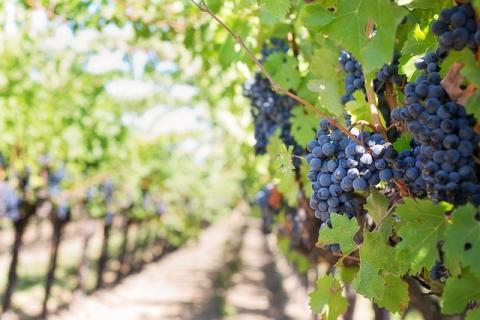זני ענבים של יין אדום